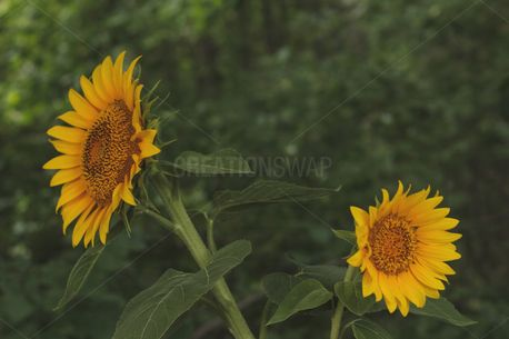 Two Sunflowers (99908)